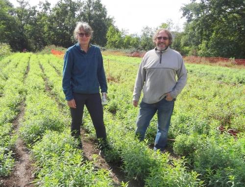 Fleurs de Verveine cultive la plante emblématique du Velay près de Rosières