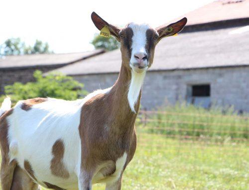 La Ferme des T'sabr: des fromages qui rendent chèvre!