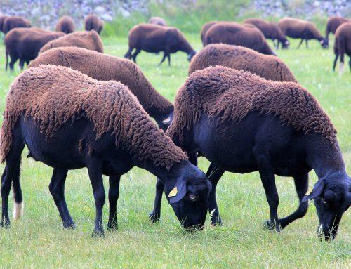 La Neira du Velay: la brebis toute vêtue de noir