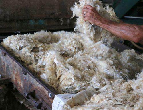 La dernière entreprise de lavage de laine en France se trouve à Saugues